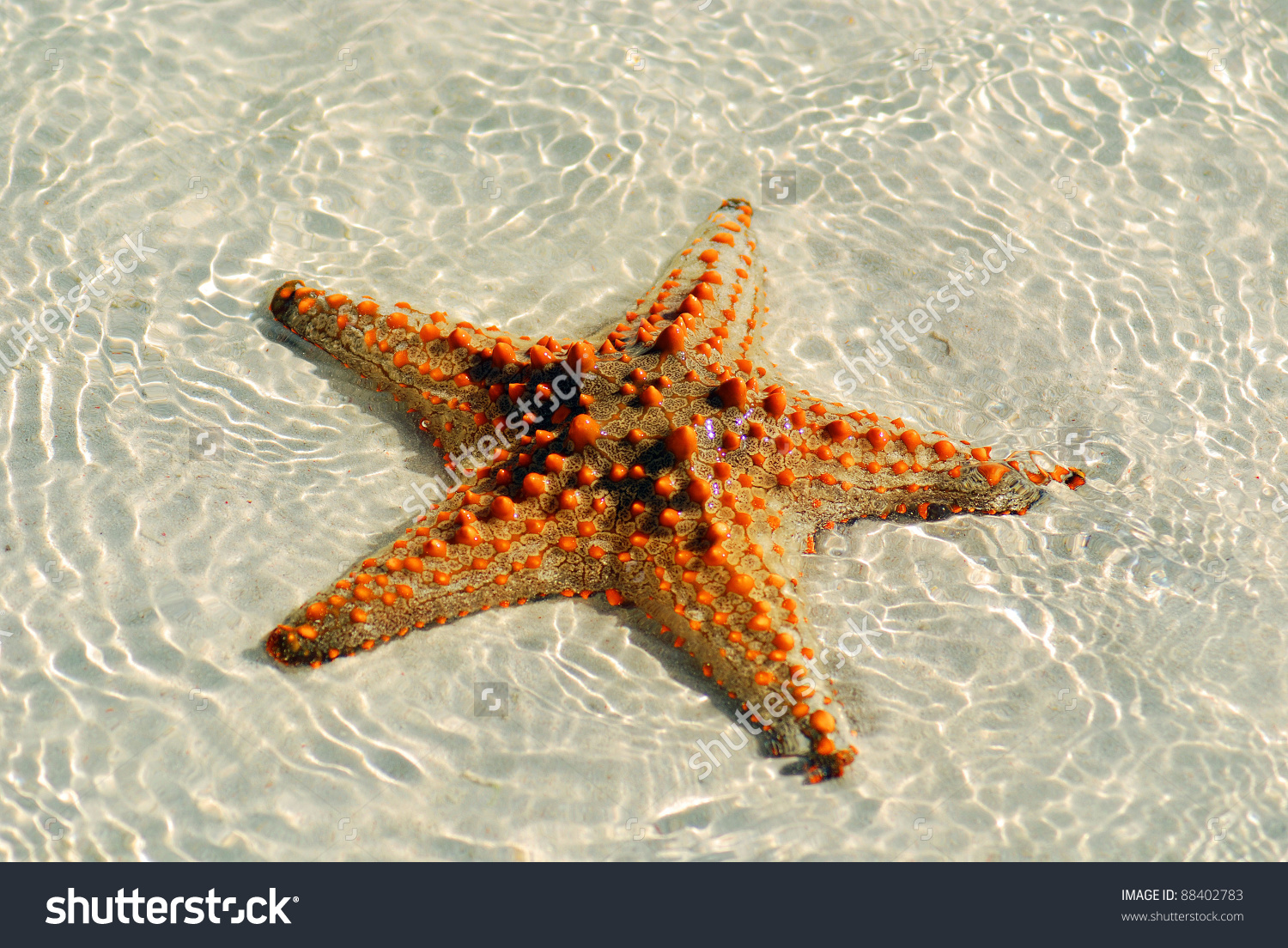 Zanzibar Tanzania Starfish Sea Stars Echinoderms Stock Photo.