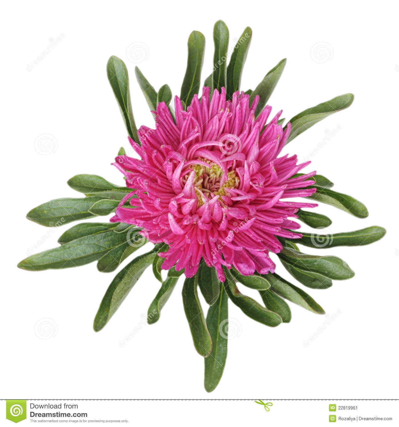 September Flower Aster Clipart.
