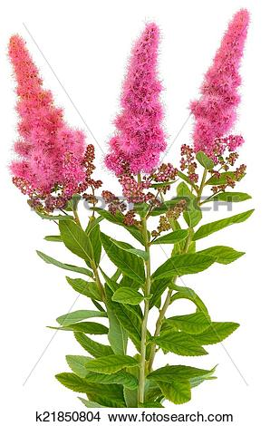Stock Photo of Bouquet of astilbe flowers k21850804.