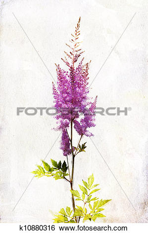"""Stock Illustration of Watercolor lilac """"Astilbe"""" k10880316."""