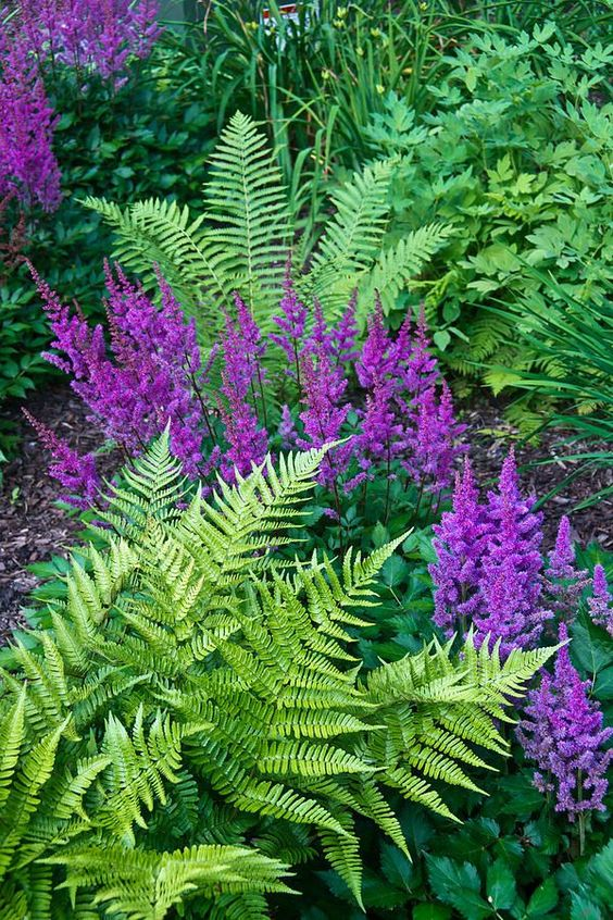 Ferns and astilbes.