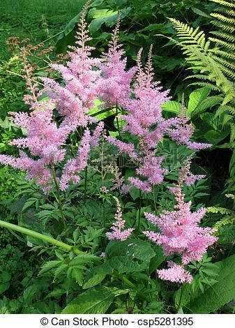 Stock Images of Astilbe, family Saxifragaceae.