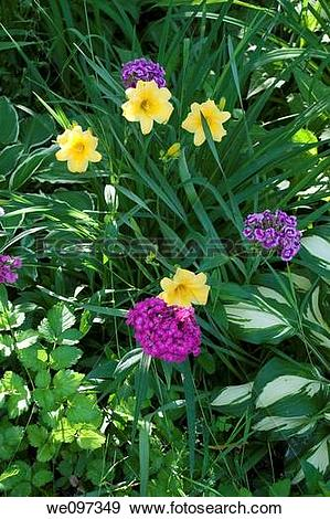 Stock Photograph of A combination of the Daylily Stella D?Oro.