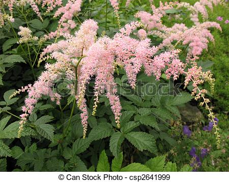 Stock Photographs of Astilbe, family Saxifragaceae.