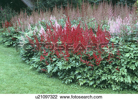Astilbe Stock Photos and Images. 168 astilbe pictures and royalty.