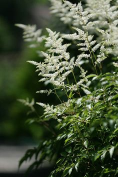 Astilbe 'Milk and Honey'.