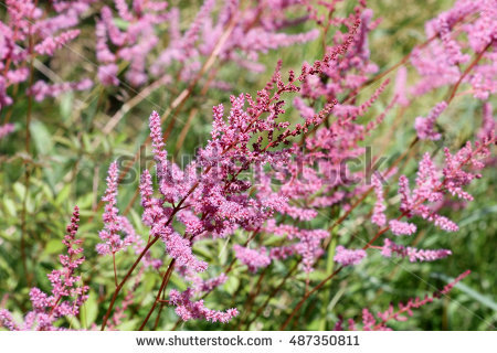 Astilbe Stock Photos, Royalty.