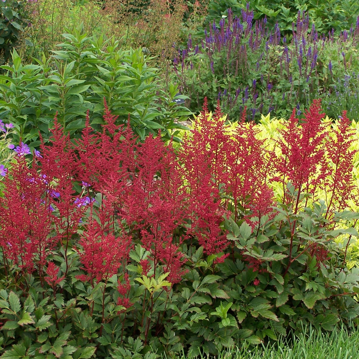 Astilbe japonica 'Red Sentinel'.