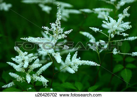 Stock Photo of Dayton Glory (Astilbe japonica ) u26426702.
