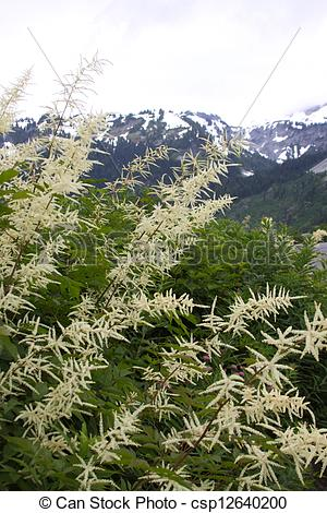 Stock Photography of Astilbe japonica csp12640200.