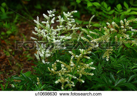 Stock Photography of Astilbe microphylla u10698630.