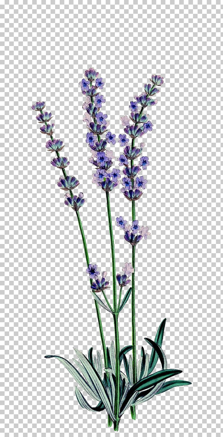Plant Astragalus bisulcatus Weed Flower French lavender.