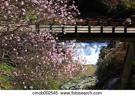 Stock Image of Cherry blossoms and bridge in Asuka, Nara.