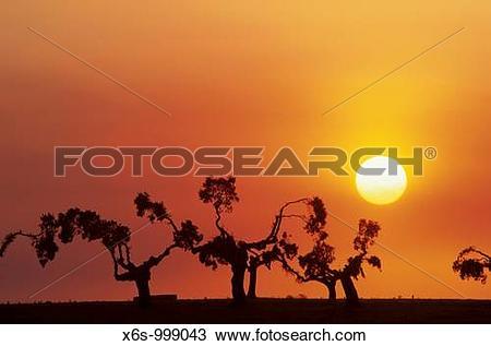 Stock Photo of Holm oaks at dusk, San Esteban, Salamanca, Spain.