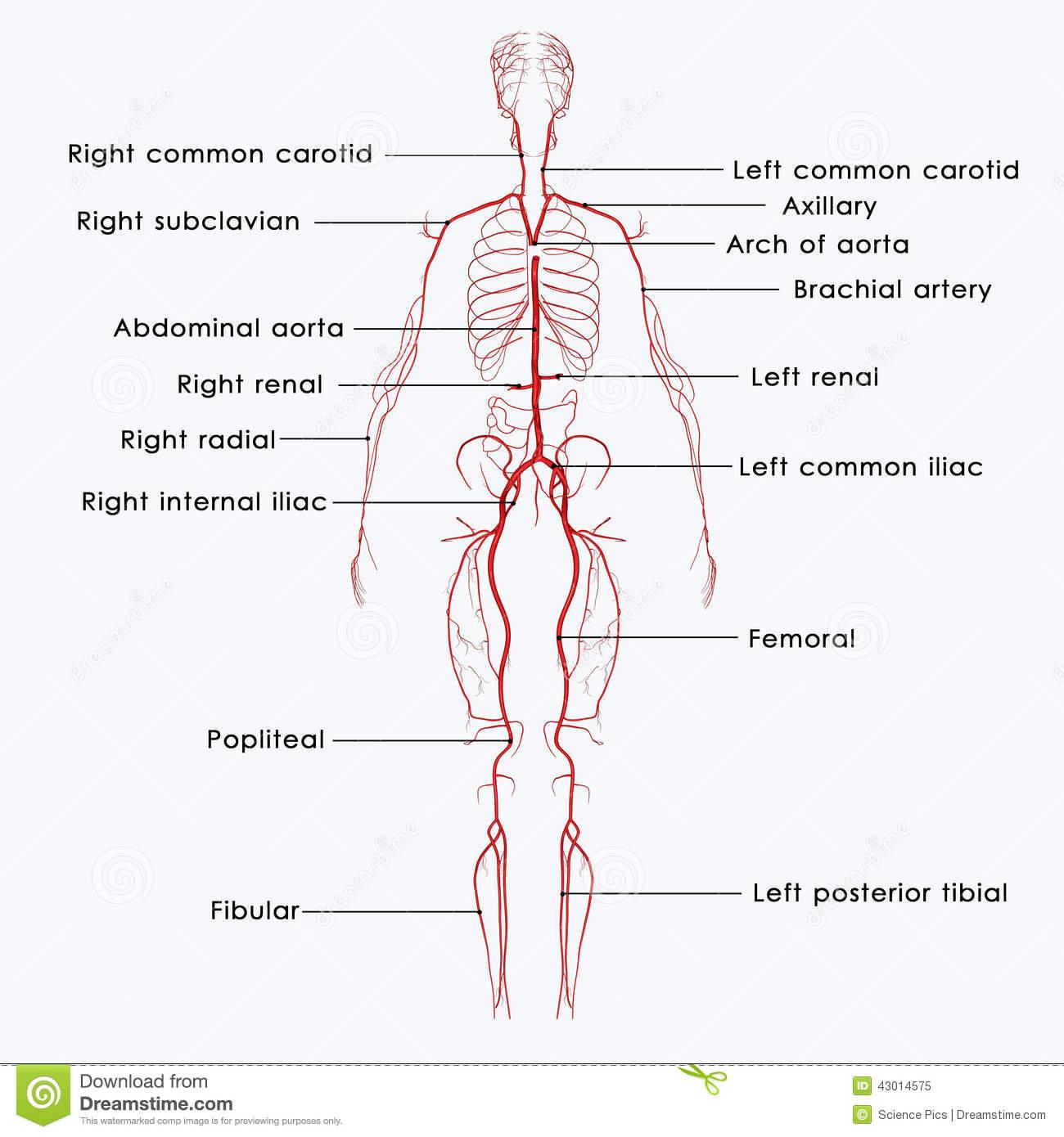 Tolle Lenden Arterie Anatomie Ideen - Menschliche Anatomie Bilder ...