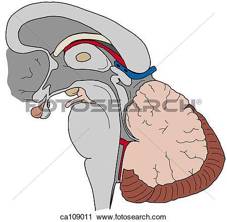 Clipart of Brainstem and cerebellum ca109011.
