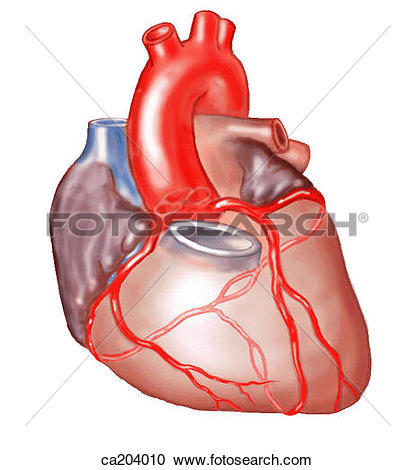 Stock Illustrations of Sternocostal surface of heart with roots of.