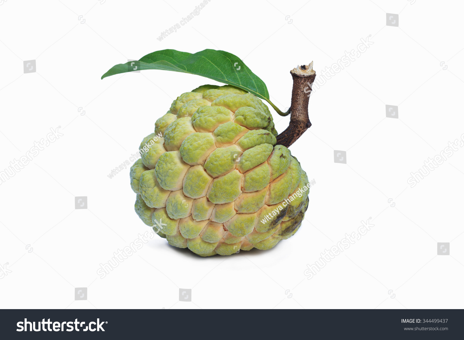 Atis clipart 11 » Clipart Station.