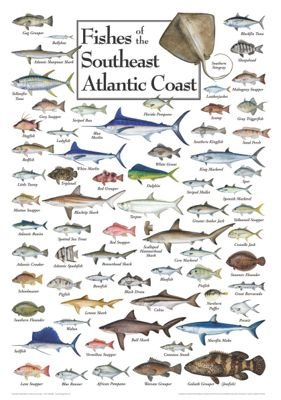 Amazon.com: Fishes of the Southeast Atlantic Coast Regional Fish.