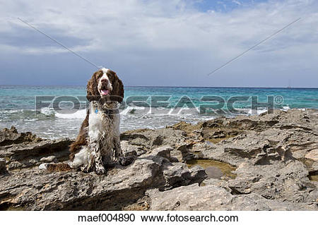 Stock Photography of Spain, Mallorca, English Springer Spaniel.