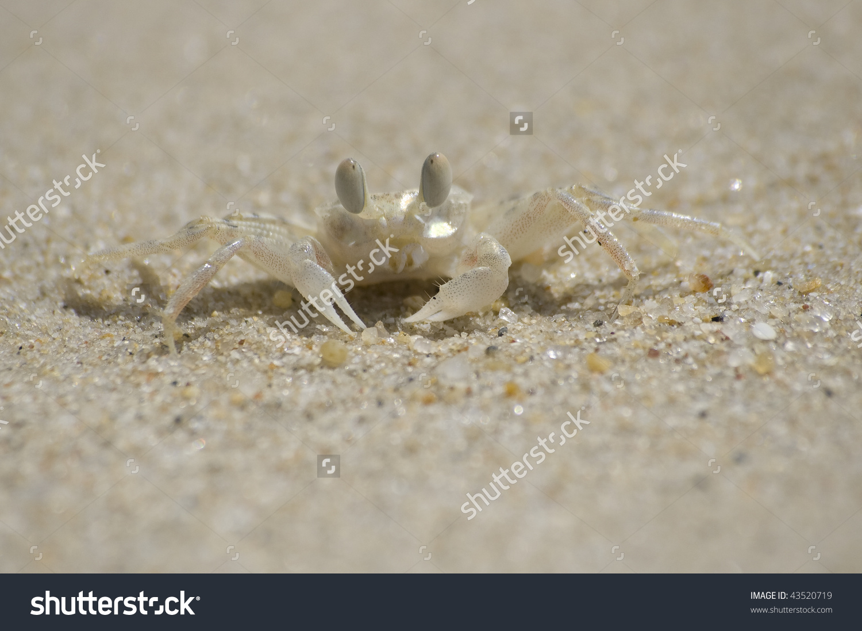 Tiny Ghost Crab On A Sand Beach (Koh Samui, Thailand) Stock Photo.