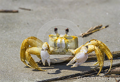 Atlantic Ghost Crab Royalty Free Stock Photo.
