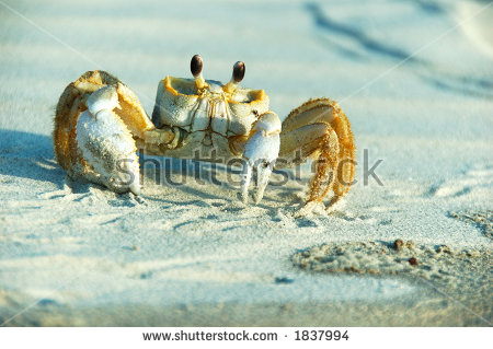 Ghost Crab Stock Photos, Royalty.
