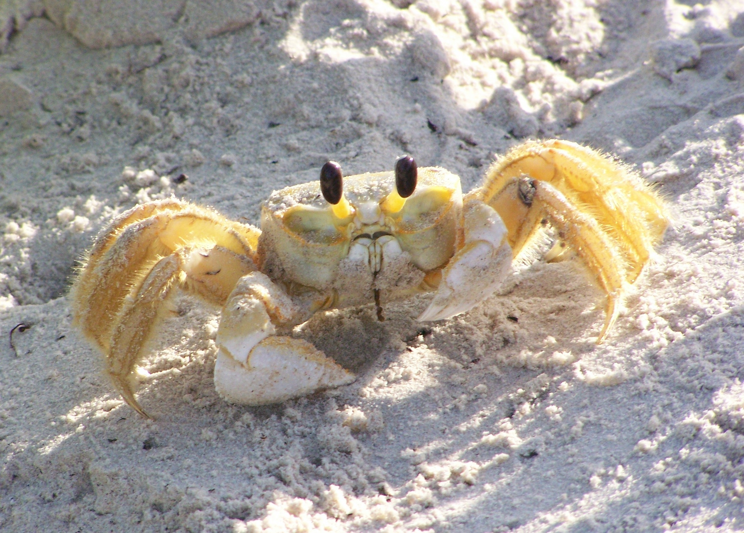 Atlantic Ghost Crab Clipart Clipground