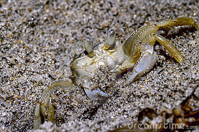 Atlantic Ghost Crab Royalty Free Stock Photography.