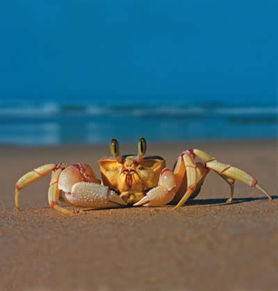 1000+ images about Crabs on Pinterest.