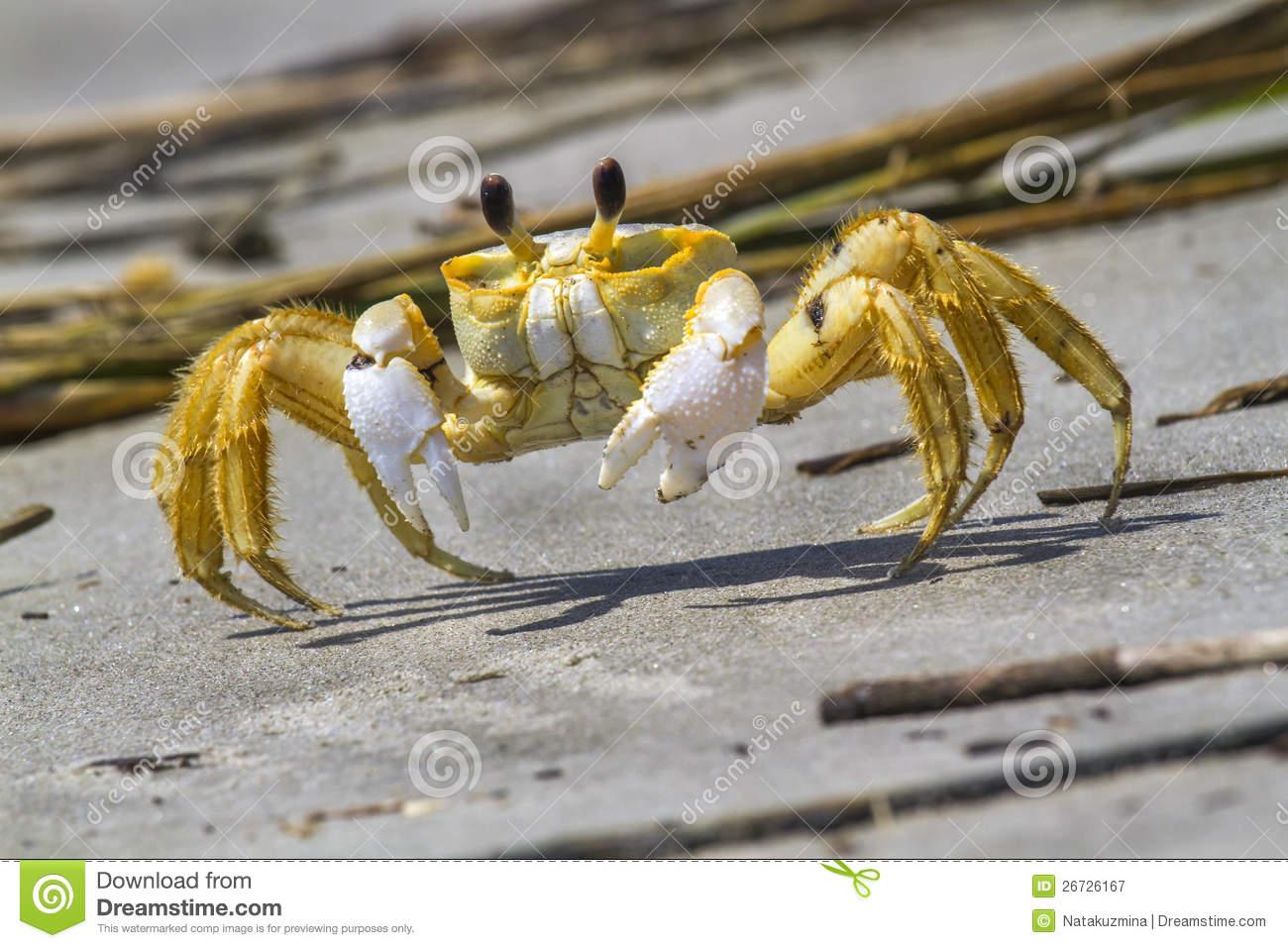 Atlantic Ghost Crab Stock Images.