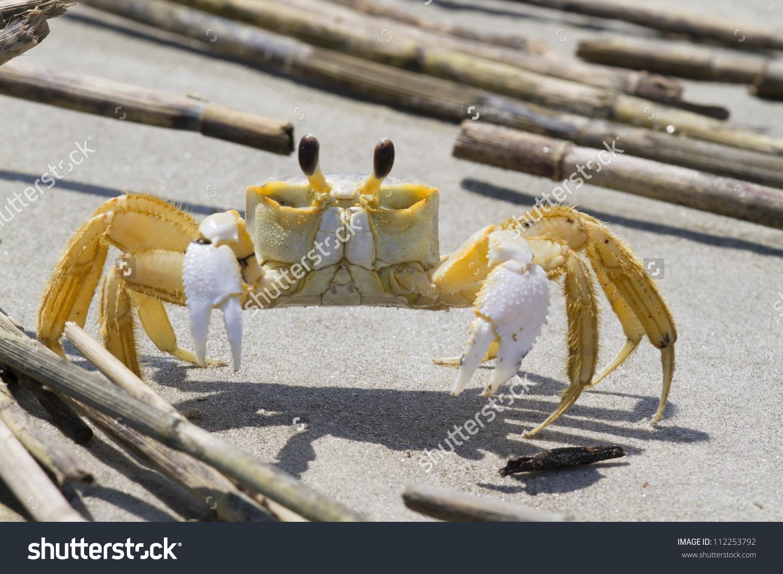 Atlantic Ghost Crab (Ocypode Quadrata) On The Beach (South.