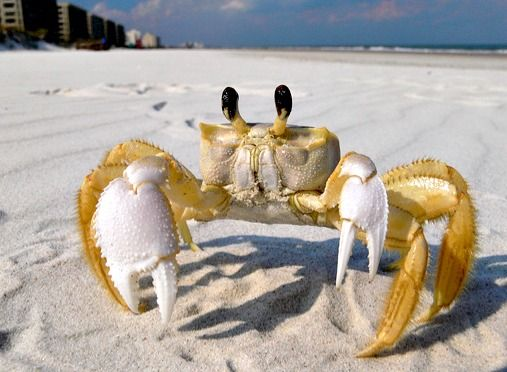 Dachschund vs Ghost Crab: the Epic Battle Unfolds.