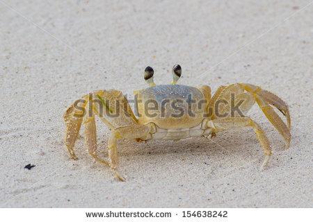 Atlantic Ghost Crab Ocypode Quadrata On Stock Photo 112253786.