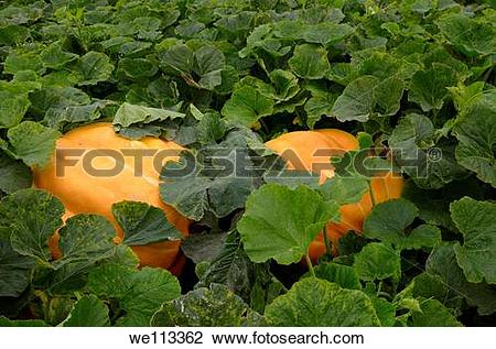 Stock Photo of Atlantic giant pumpkins in a vegetable garden in.