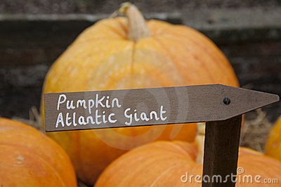 Giant Atlantic Cockel Royalty Free Stock Image.
