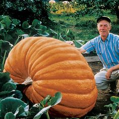 Atlantic Giant Pumpkin.