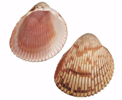 1000+ images about Seashell identification (around the world) on.