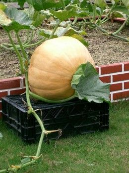 How You Can Grow Giant Pumpkins.