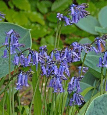 1000+ ideas about Hyacinthoides on Pinterest.