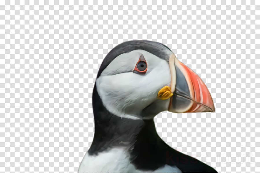 puffin atlantic puffin bird beak seabird clipart.