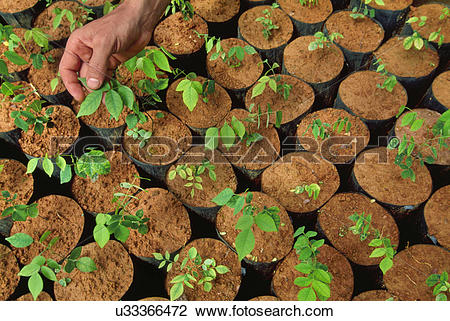 Stock Photo of Tree seedlings in nursery, Montes Clares, Atlantic.