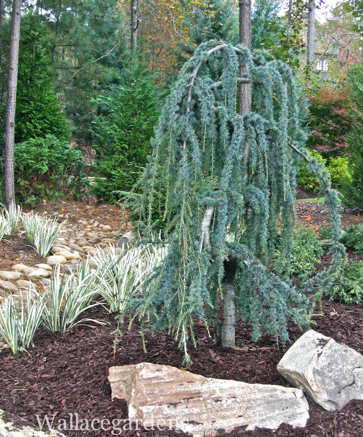 Clipart weeping cedar tree.