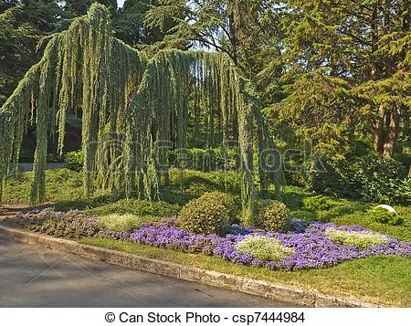 Stock Photo of Atlas cedar weeping.