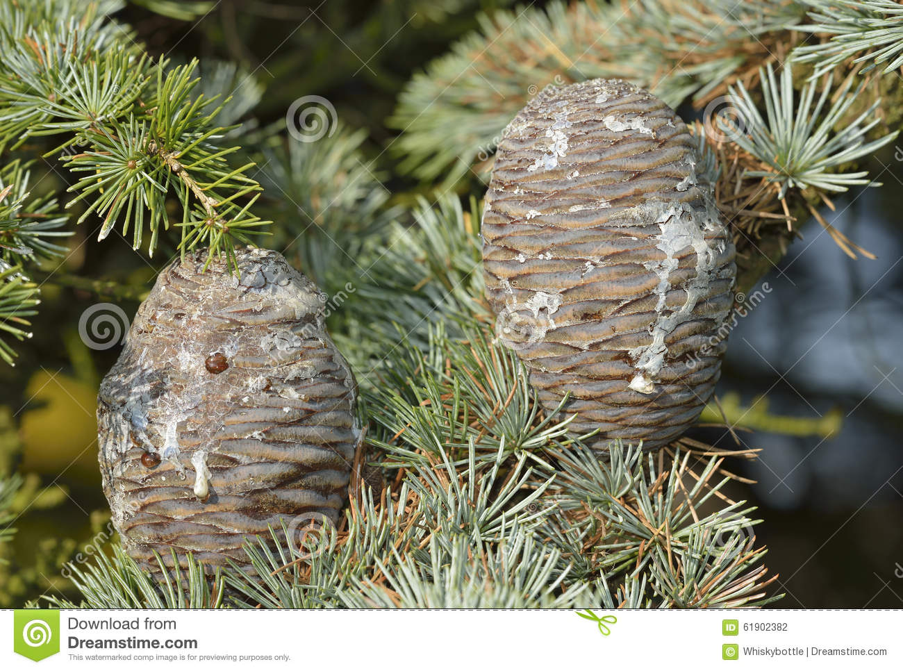 Blue Atlas Cedar Stock Photos.