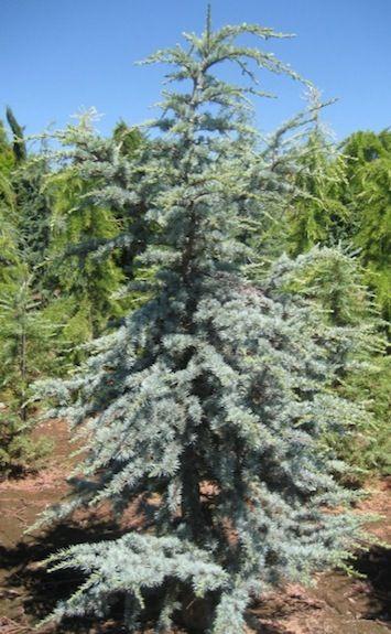 Horstmann Blue Atlas Cedar.