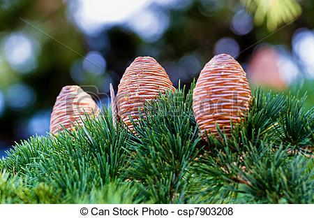 Pictures of Pine cone.