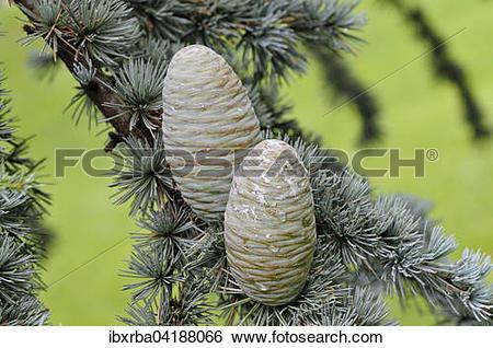 Stock Images of Blue Atlas cedar (Cedrus atlantica cv. glauca.