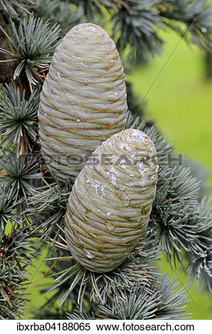 Stock Image of Blue Atlas cedar (Cedrus atlantica cv. glauca.