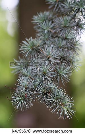 "Pictures of Branch of a Atlas Cedar (lat. Cedrus atlantica ""Glauca."